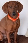 Jane Redbone Coonhound Dog