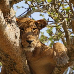 Lion - in tree