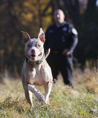 In this Wednesday, Nov. 4, 2015 photo, Poughkeepsie, N.Y., police officer Justin Bruzgul looks on as he works with Kiah at K9 school in Stone Ridge, N.Y. Kiah, a two-and-a-half year old pit bull, will soon join the Poughkeepsie Police Department as a crime-fighting, drug-sniffing police dog, a move that advocates of the breed say will counter the stereotypical image of the dog as a dangerous breed beloved by criminals. (AP Photo/Mike Groll)