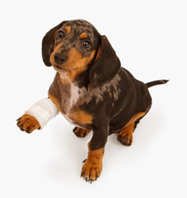 Dachshund+Puppy+With+Injured+Leg+Stock+Photo