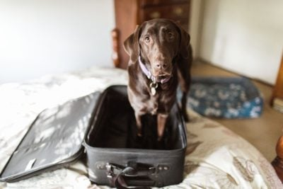 A Chocolate Labrador Retriever dog stands in an empty suitcase and looks morosely up at the camera. Credit: Purple Collar Pet Photography/Getty