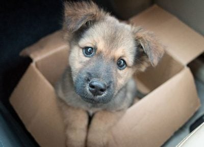 puppy in box