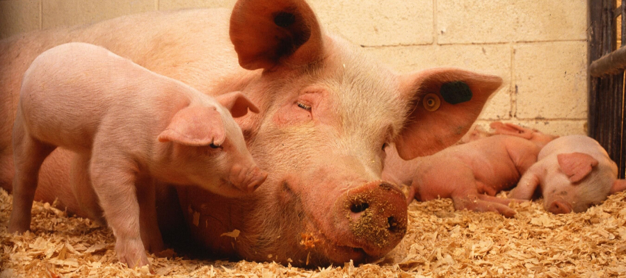 National Pig Day: 8 Pig Facts You Probably Didn't Know