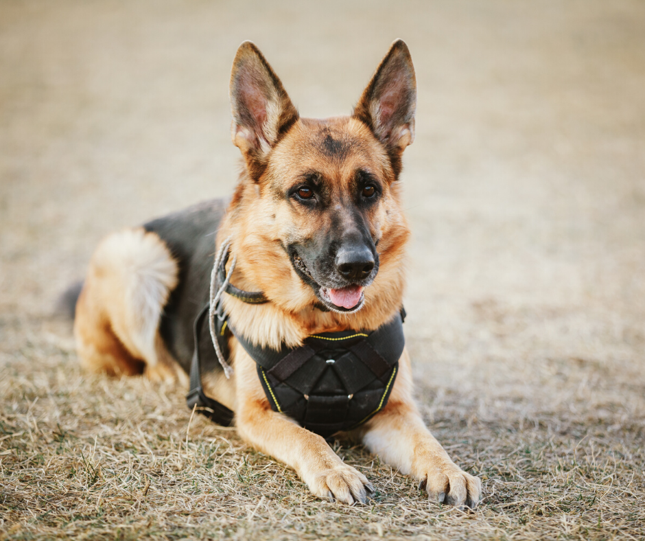 National K9 Veterans Day : Top 5 Legendary War Dogs