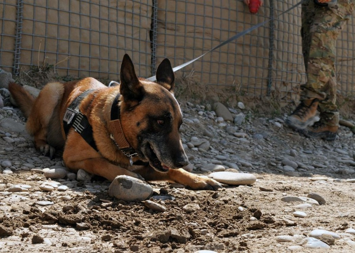 5 Reasons Why Volunteering at an Animal Shelter Is Good for the Soul National K9 Veterans Day : Top 5 Legendary War Dogs