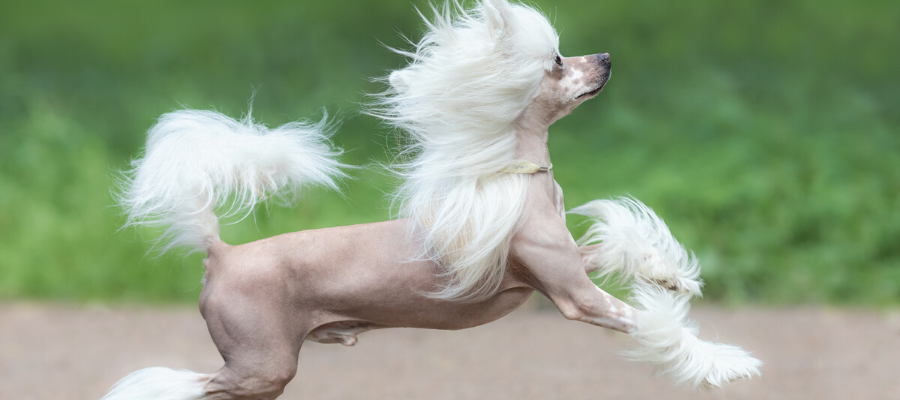 Ugly Dog Day: Why the Chinese Crested Comes On Strong as the World's Ugliest