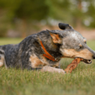 Never Worry About Your Dog Choking on A Bully Stick Ever Again | Bully Sticks by Bow Wow Labs