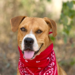 Brown rescue dog with bandana